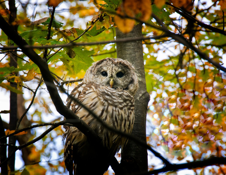 DSC_3996 Owl  copy.jpg