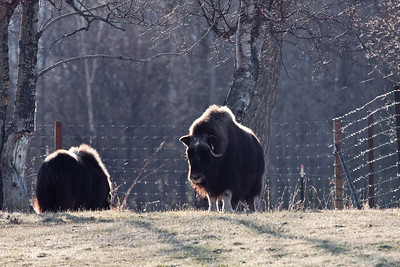 MAY 4th VISIT TO THE MUSK OX FARM