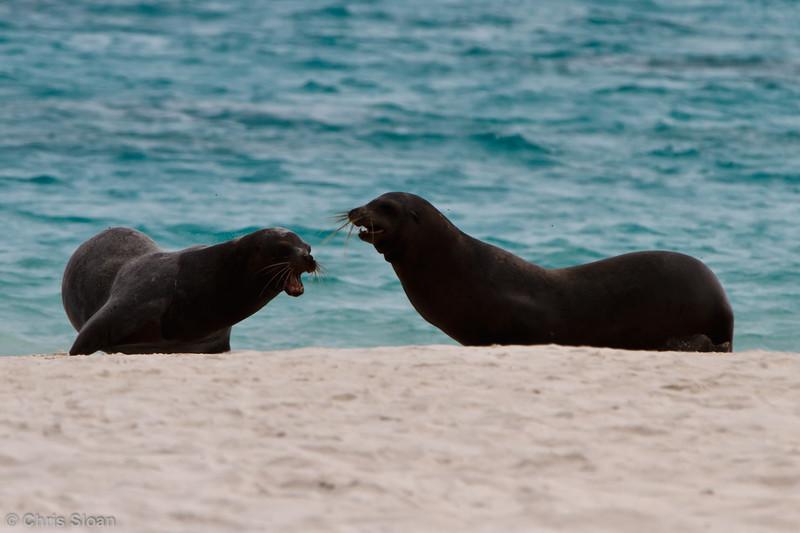 Galapagos Sea Lions at Gardner Bay, Espanola, Galapagos, Ecuador (11-21-2011) - 888.jpg