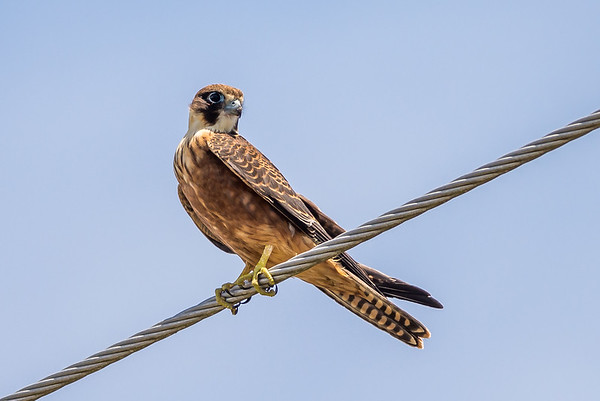 2017-02-28 Australian Hobby at Jacobs Well