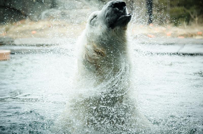 Image of Polar Bear shaking himself off
