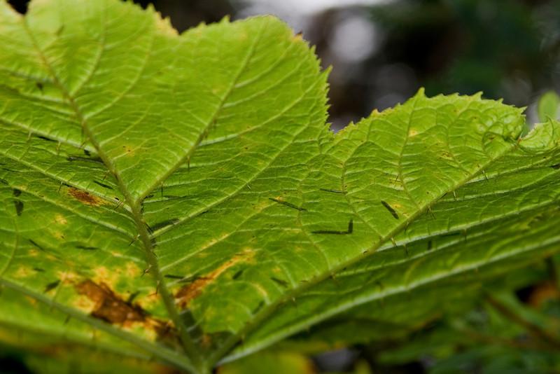 Devil's Club Leaf Spines.jpg