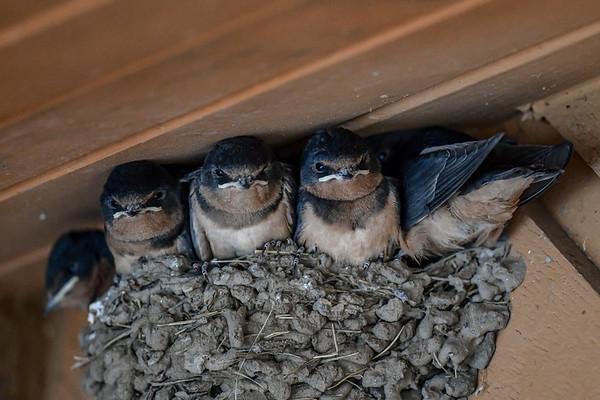 8-9-19 Barn Swallows - KCountry