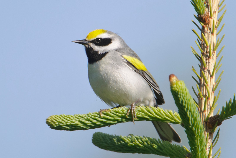 Warbler - Golden-winged - Itasca County Road 325 - MN