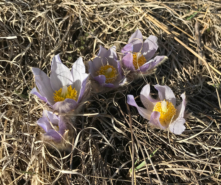 The first crocus beginning to appear on a Bowmont Park hillside, on April 16. About 2 weeks later than usual at this particular spot. Sorry for the crappy i-phone photo!