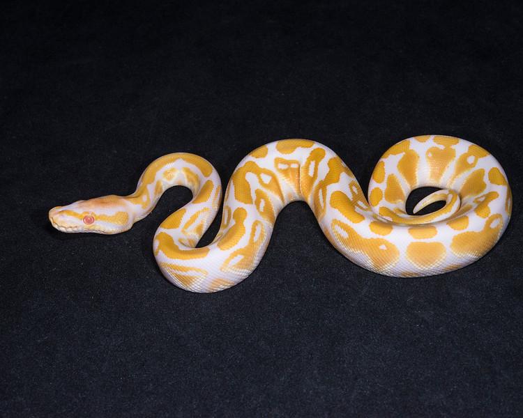 1856_M Albino, $150