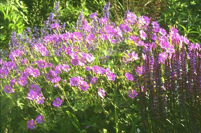 Geranium 'Nimbus'.jpg