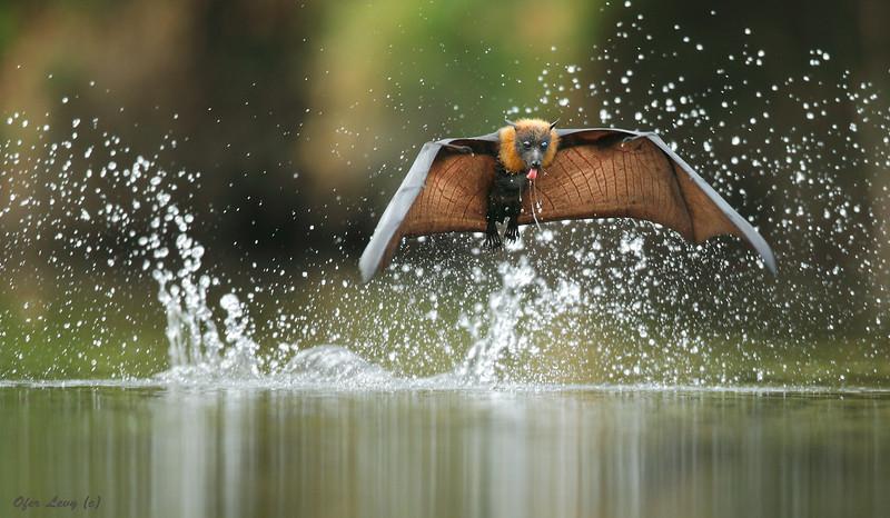 Grey-headed Flying Fox drinking, Ofer Levy.jpg