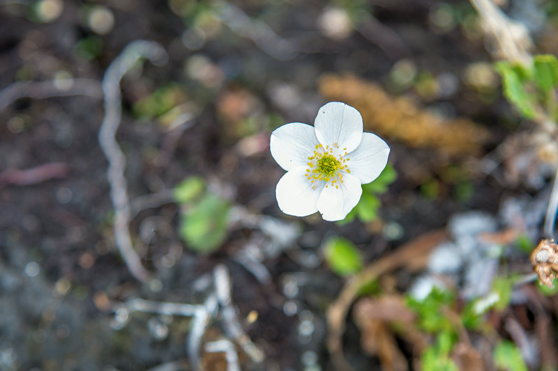 Arctic Wildflowers