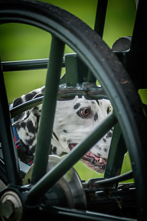 Fenix National Carriage Dog Trials 2014