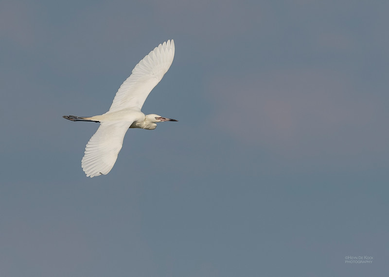 Reddish Egret (white morph), Fort De Soto, St Petersburg, FL, USA, May 2018-1.jpg