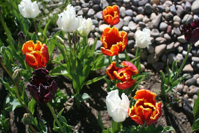 Tulips 2011 008.JPG