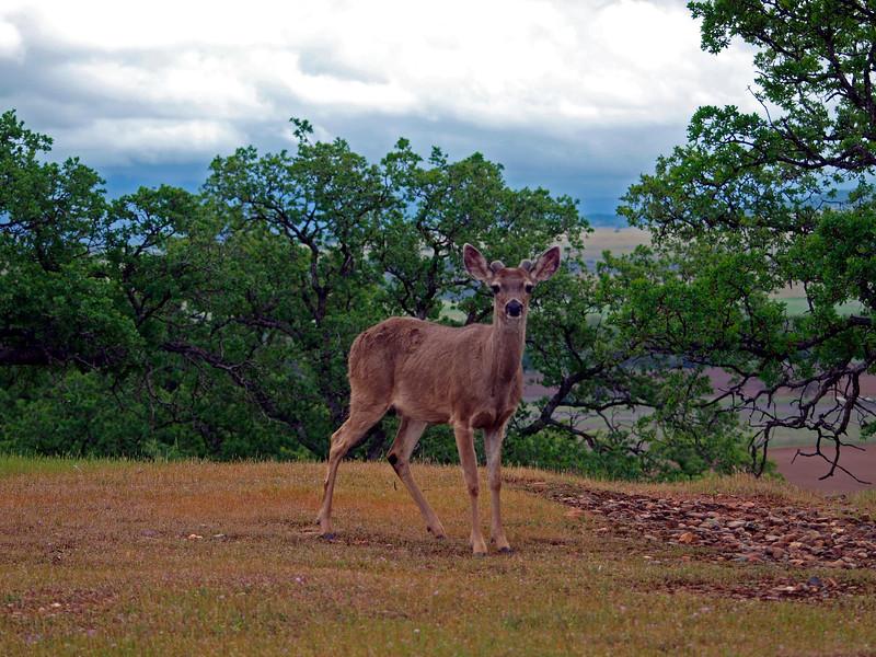 Deer Posing