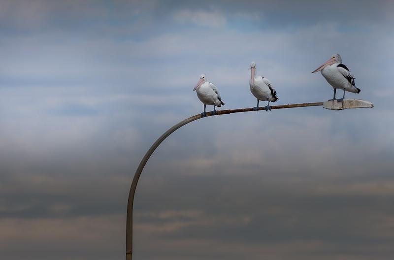 Pelicans on light pole, Kangaroo Island