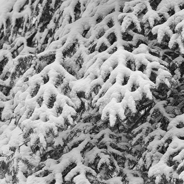 Snow on Spruce-John Hoffman.jpg