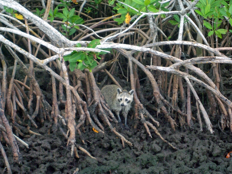Raccoon, Speedy's Airboat, Everglades City, FL
