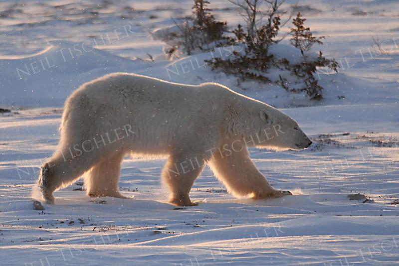 #537  A large male bear strides away