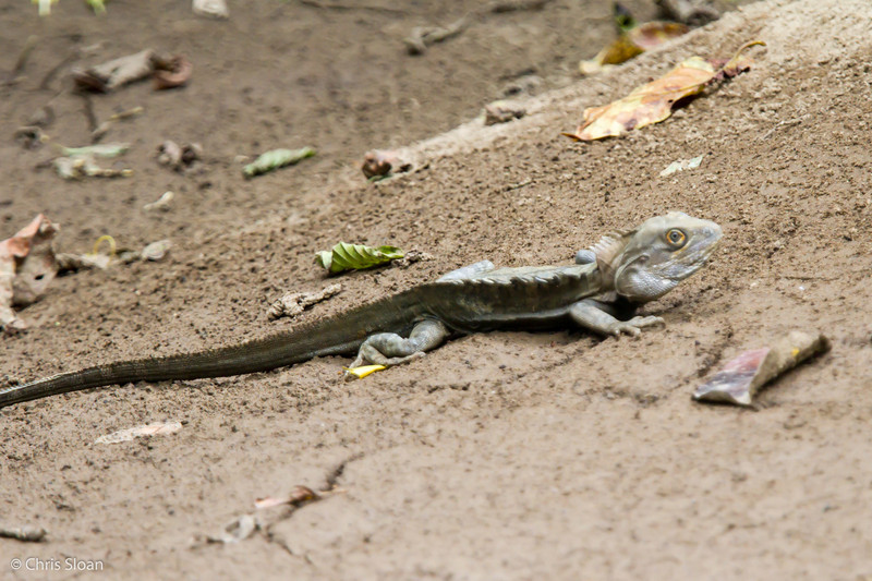 Water Dragon at Kwatu Lodge, Papua New Guinea (10-12-2013) 017-257.jpg