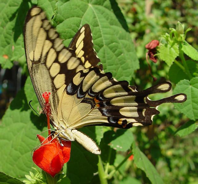Giant Swallowtail 20 EH.jpg