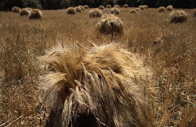 Cúmulos de trigo