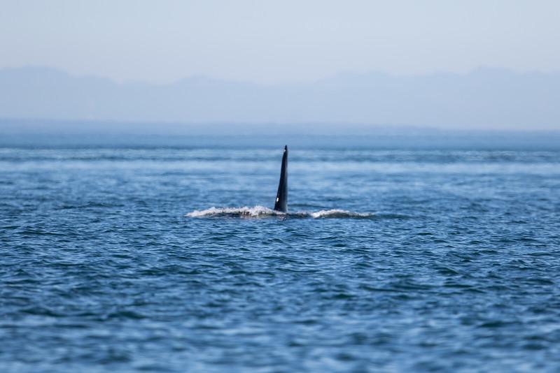 Orcas -  073115-122.jpg