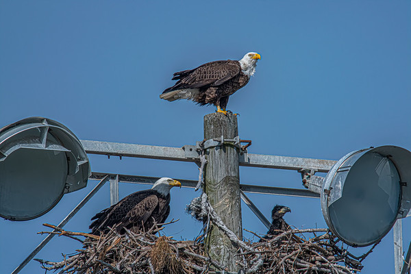 Bald Eagle Nest BE994 - March 16, 2021