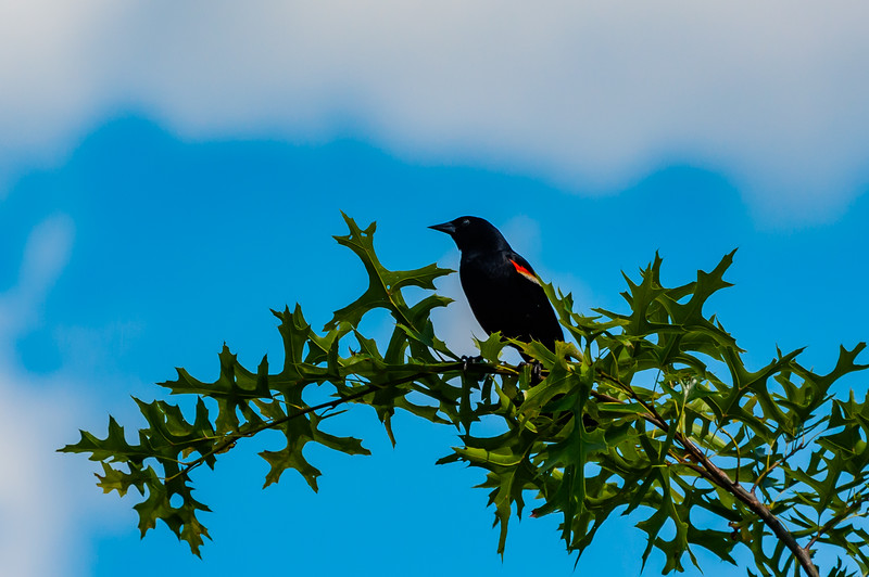 Red Winged  Blackbird Perched on Tree