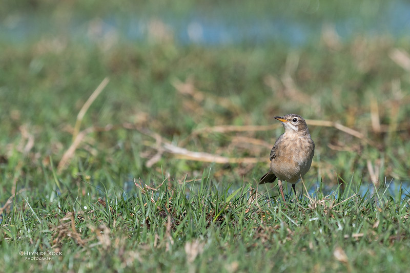 Plain-backed Pipit, Eagle Island, Okavango Delta, Botswana, May 2017-2.jpg