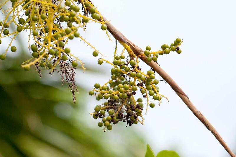 palmetto berries.jpg