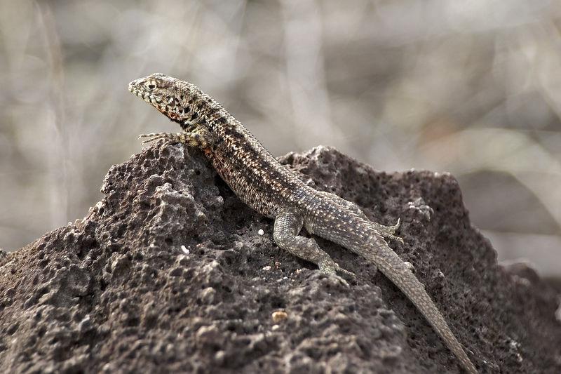 Male lava lizard on path to Tortuga Bay   (Dec 09, 2005, 03:38pm)