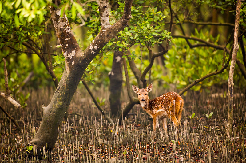 Filming for #BBCEarth #EarthOnLocation A young chital deer watches as our boat slowly passes in the Indian Sundarbans. When the tide is out this unique forest is fully exposed and deer can forage on the fresh shoots and leaves of the mangrove tree. The vicious looking spikes that penetrate out of the ground belong to these remarkable trees, but they are not for defence. They are snorkels - allowing the mangrove trees to breathe whilst remaining firmly rooted in the thick airless mud. #Sundarbans #India #Chital #Mangrove #roots #India #Deer