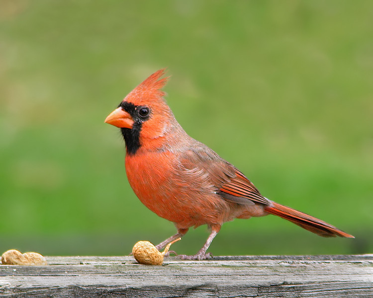 cardinal_5618.jpg