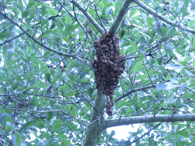 swarm in tree.JPG