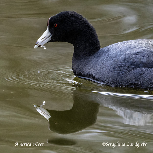 _DSC1408Water drop Coot.jpg