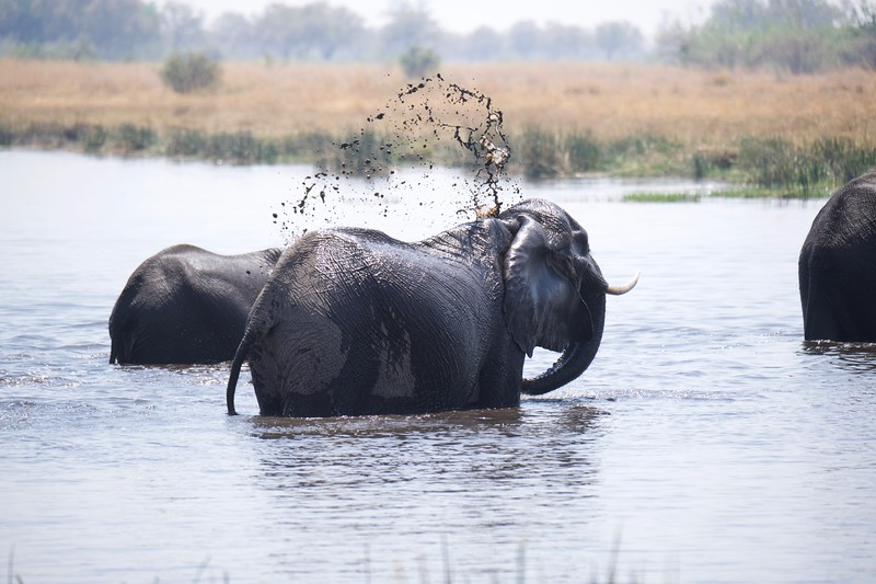 Elephants drinking and cooling off, Selinda Explorer camp, Botswana