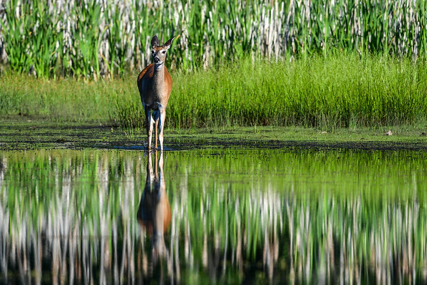 6-29-16 Deer In The Pond