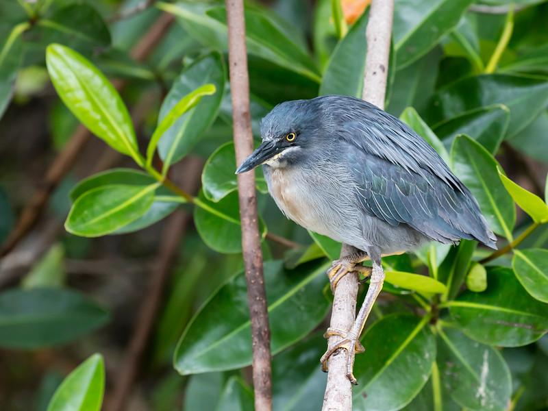 Galápagos Heron (Lava Heron)