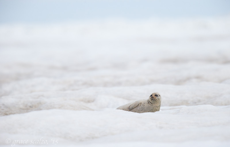 Bearded Seal on the Chukchi Sea