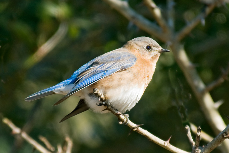 Bluebird - Eastern - female - Harris Neck NWR - GA - 01