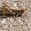 Sunbathing grasshopper-2539