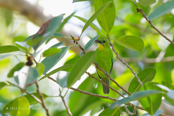 Yellow-throated Leafbird