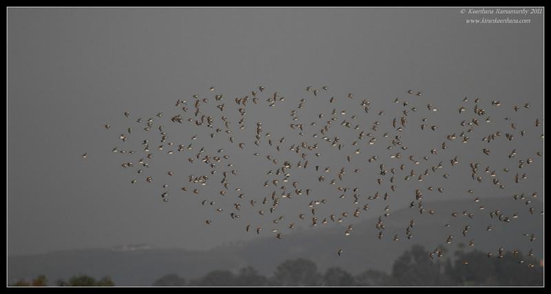 Mixed flock of Least & Western Sandpipers, San Elijo Lagoon, San Diego County, California, February 2011