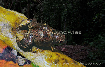 New Guinea Frogs Microhylidae (Microhylid Frogs, Narrow Mouth Frogs)