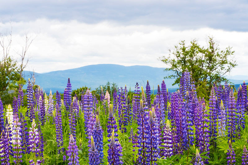 Lupine infront of East Kennebago Mountain