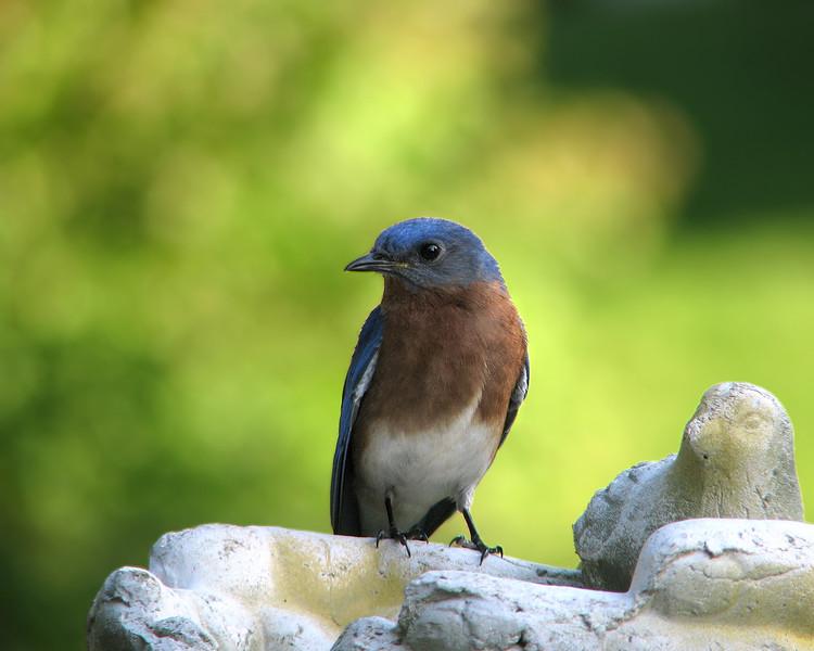 bluebird_6238.jpg