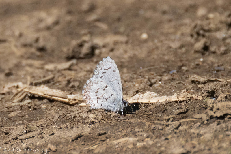 Northern Azure (Celastrina lucia), in Area 2 (Photo by Andrea Kingsley)