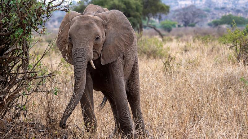 Tanzania-Tarangire-National-Park-Safari-Elephant-03.jpg
