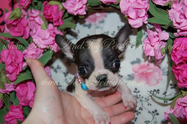 French Bulldog Photos and Videos