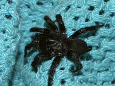 Dipluridae - Curtain-web Spiders