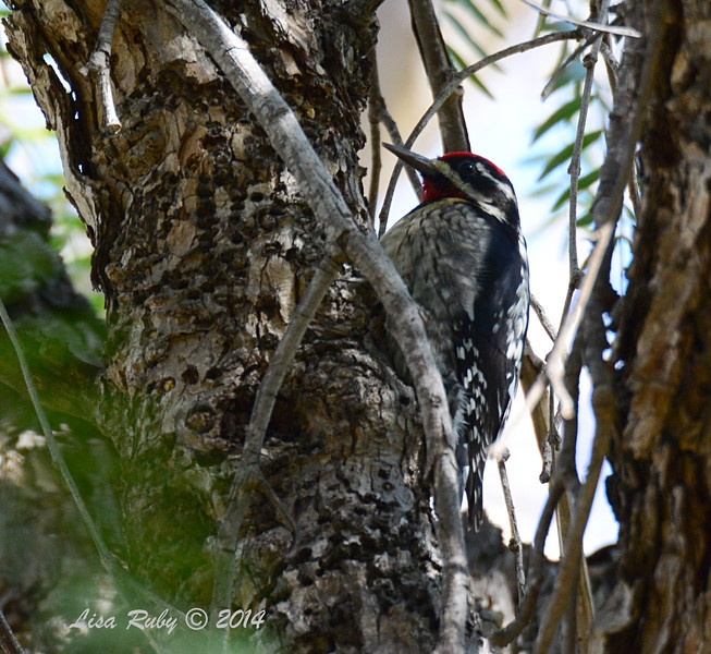 Red-naped Sapsucker - 2/7/2014 - Oak Hill Memorial Park, Escondido
